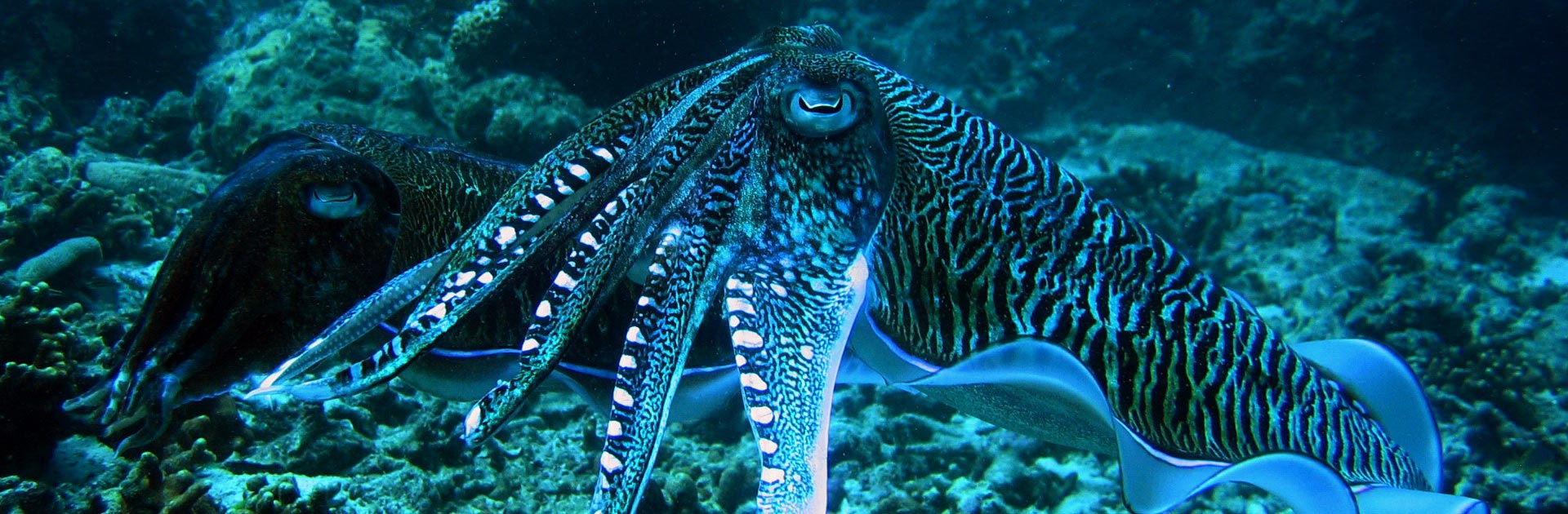 Night diving in Phuket brings out spectacular creatures like this electric Cuttlefish